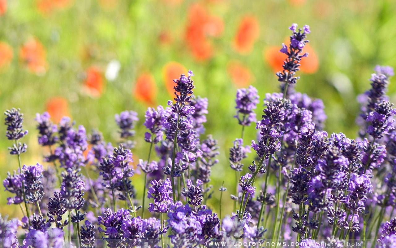 La lavande et ses vertus beaut sant for Plante anti moustique naturel